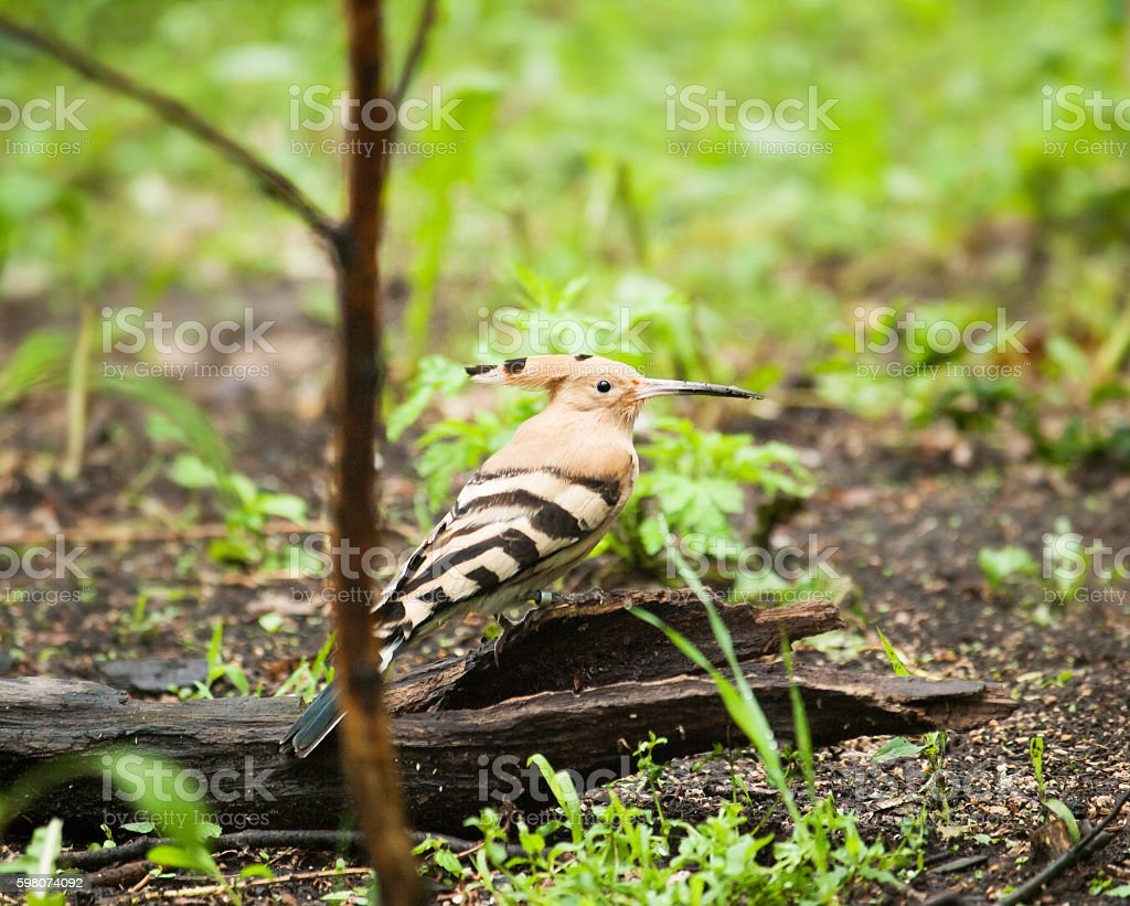 Eurasian hoopoe -  Upupa epops epops - in nature stock photo