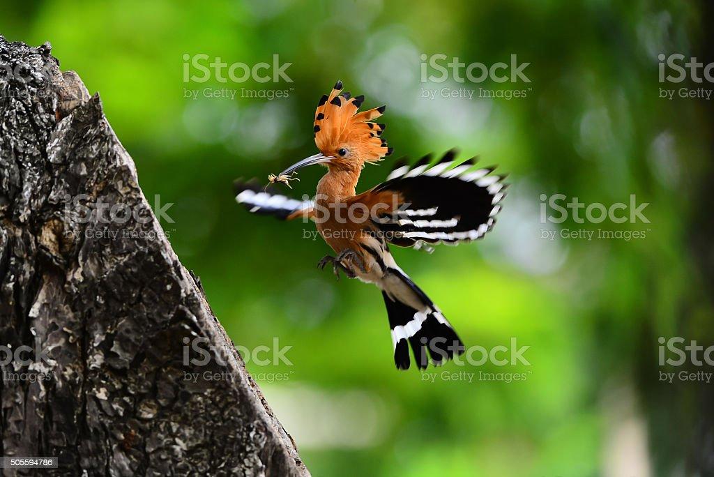 Eurasian hoopoe, Upupa epops stock photo