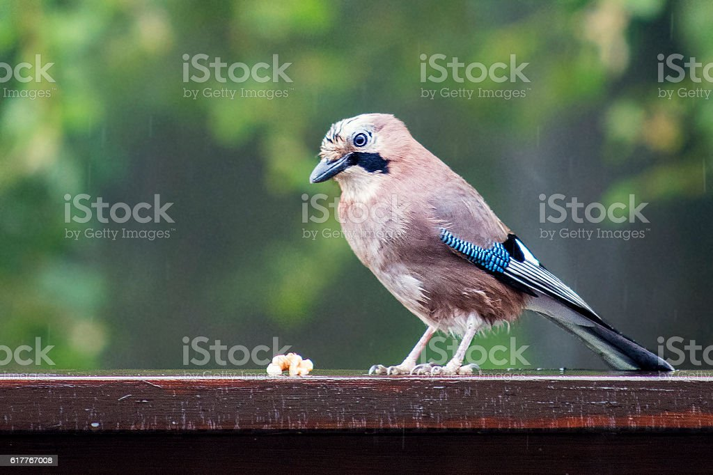 Eurasian Jay (Garrulus glandarius) Catching Some Walnuts stock photo
