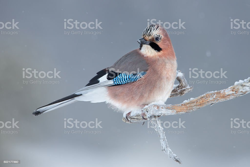 Eurasian jay perching in wintertime stock photo
