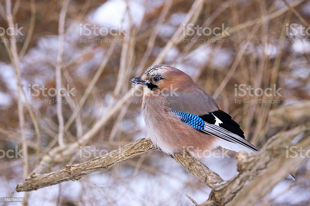 Eurasian Jay royalty-free stock photo