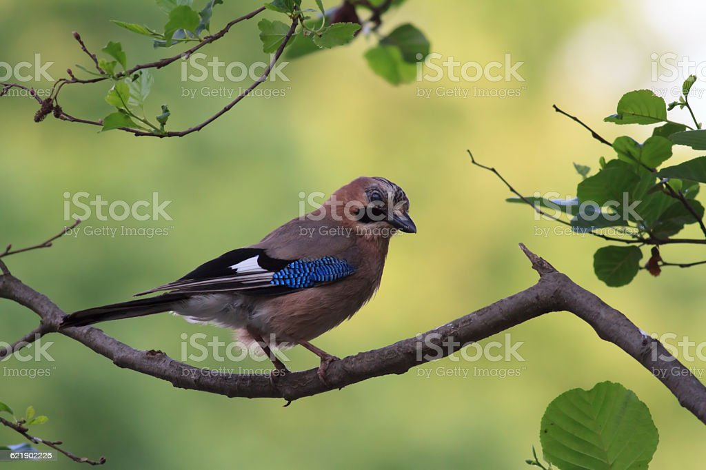 Eurasian Jay (Garrulus glandarius) stock photo