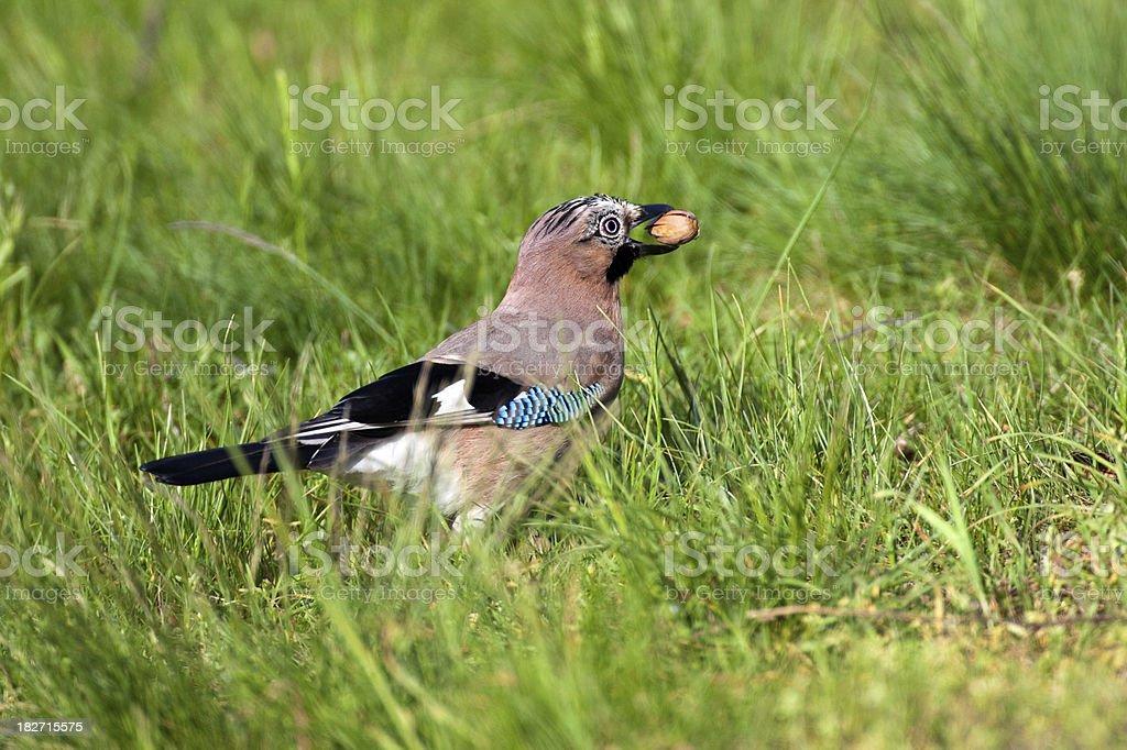 Eurasian Jay (Garrulus glandarius) With Acorn stock photo