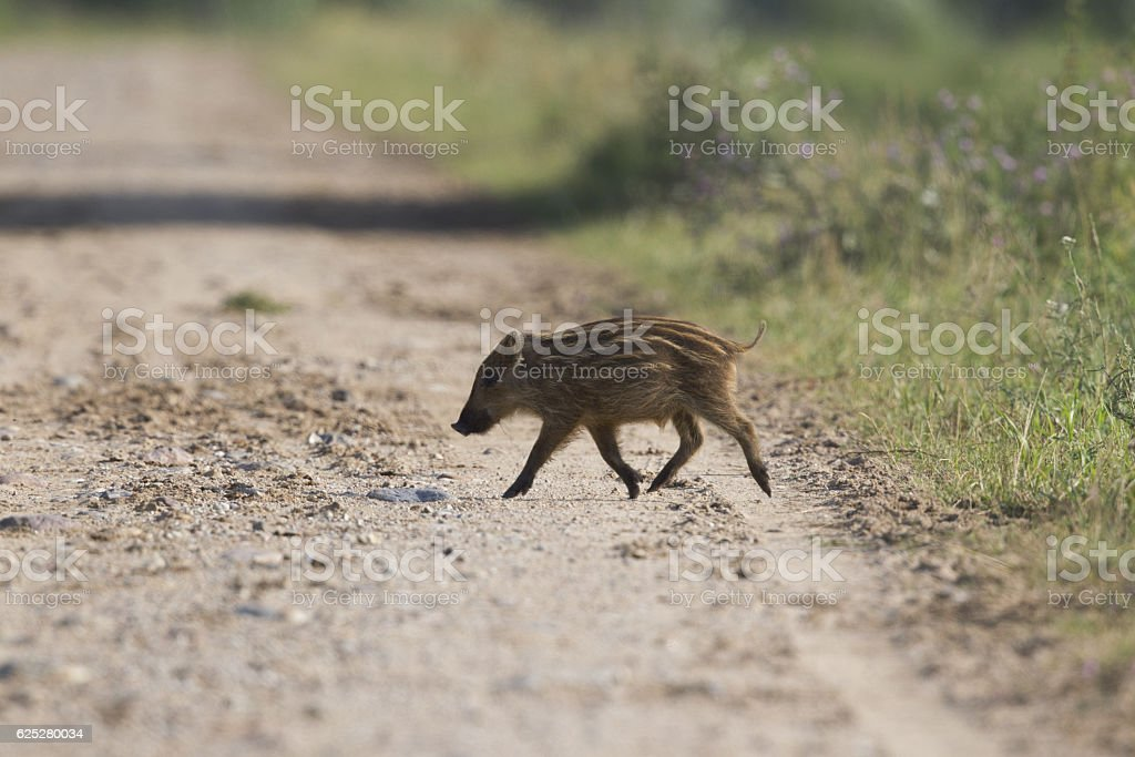Eurasian juvenile wild pig crossing a dirt road. stock photo