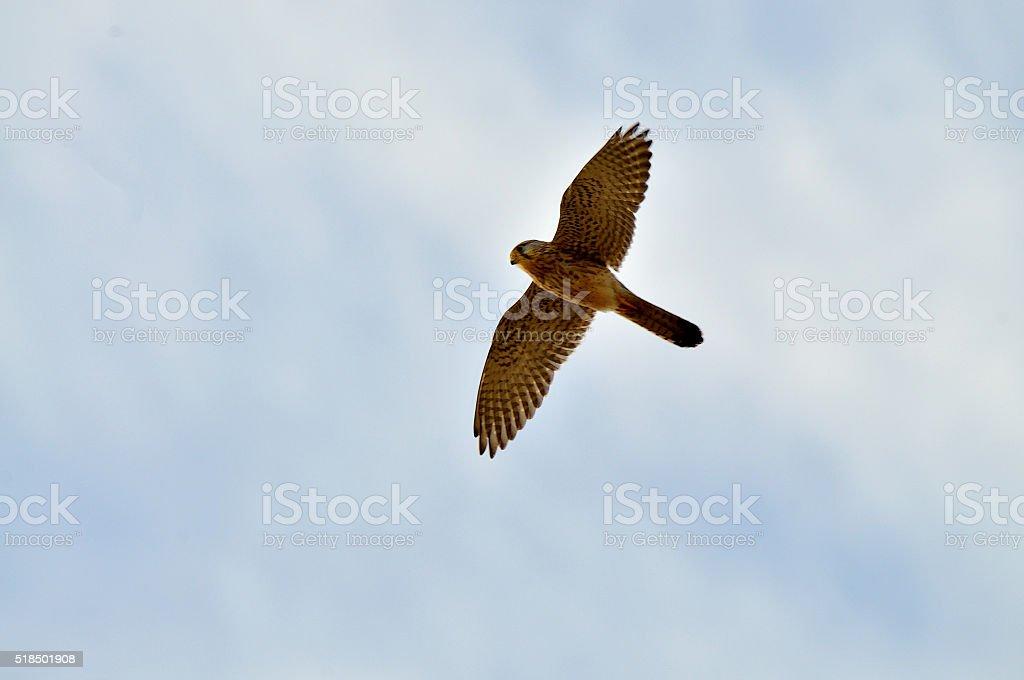 Eurasian Kestrel Flyover at Lac El Mansour Eddahbi stock photo