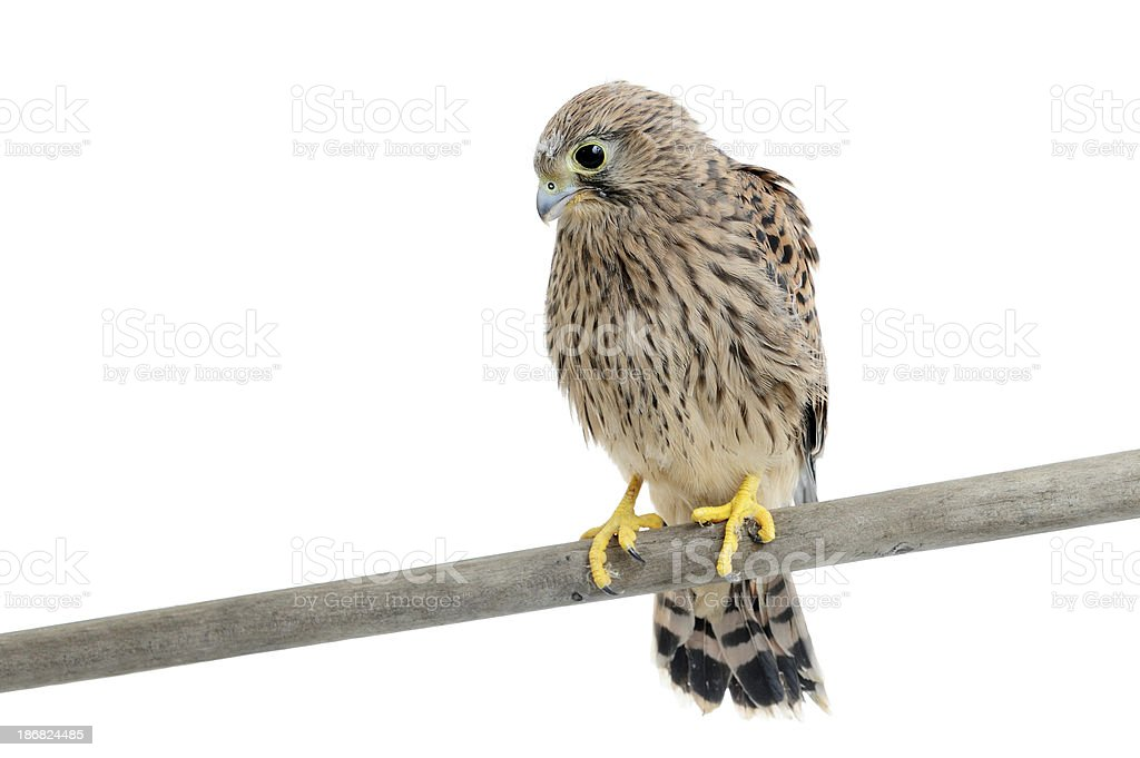 Eurasian Kestrel (Falco tinnunculus) stock photo