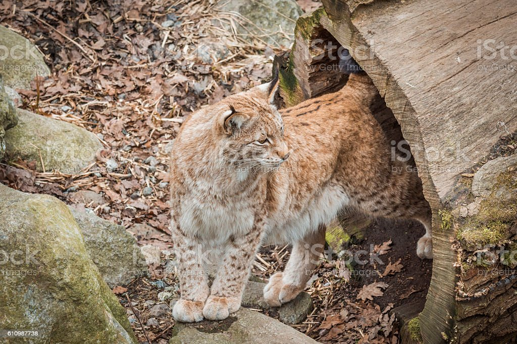 Eurasian lynx. Felis lynx.It is a wild cat with yellowish-brown stock photo