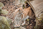 Eurasian lynx. Felis lynx.It is a wild cat with yellowish-brown