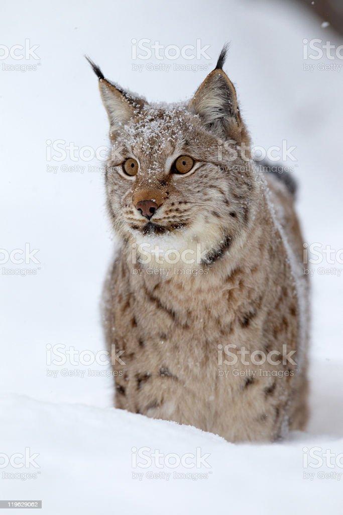 Eurasian lynx in a deep snow royalty-free stock photo