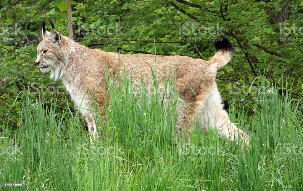 Eurasian Lynx in natural back royalty-free stock photo