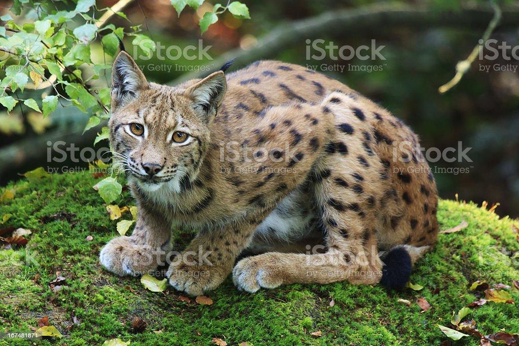 Eurasian Lynx royalty-free stock photo