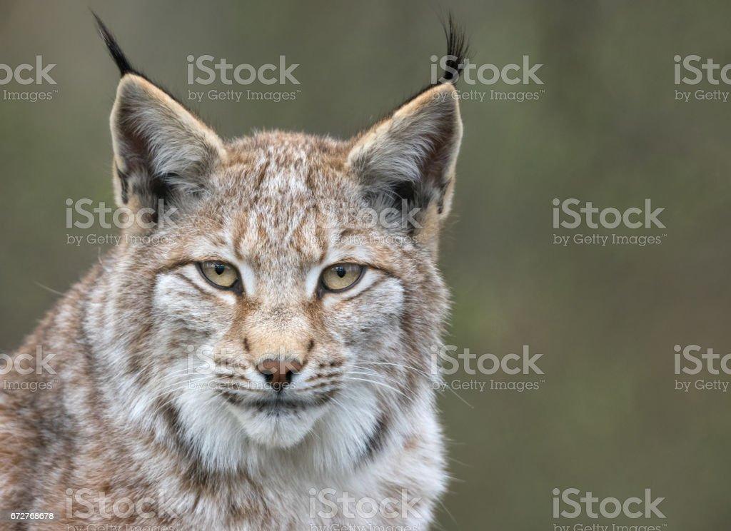 Eurasian lynx (Lynx lynx) stock photo