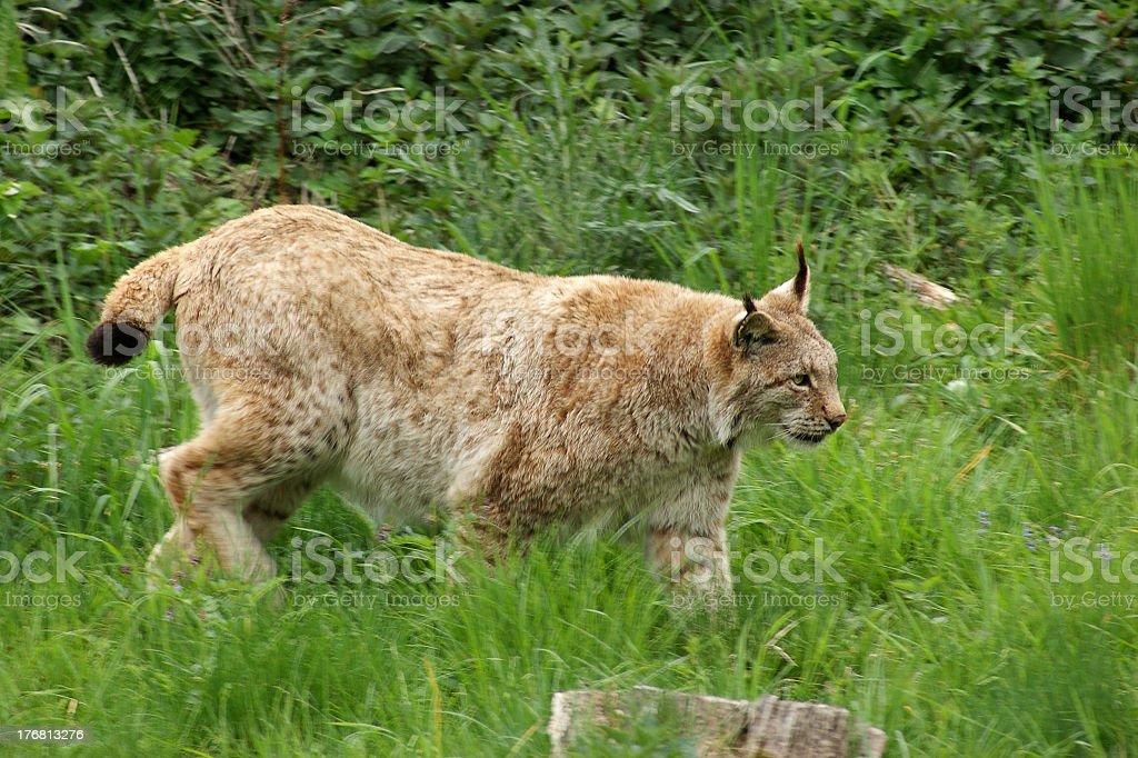 Eurasian Lynx sneaking in green vegetation royalty-free stock photo