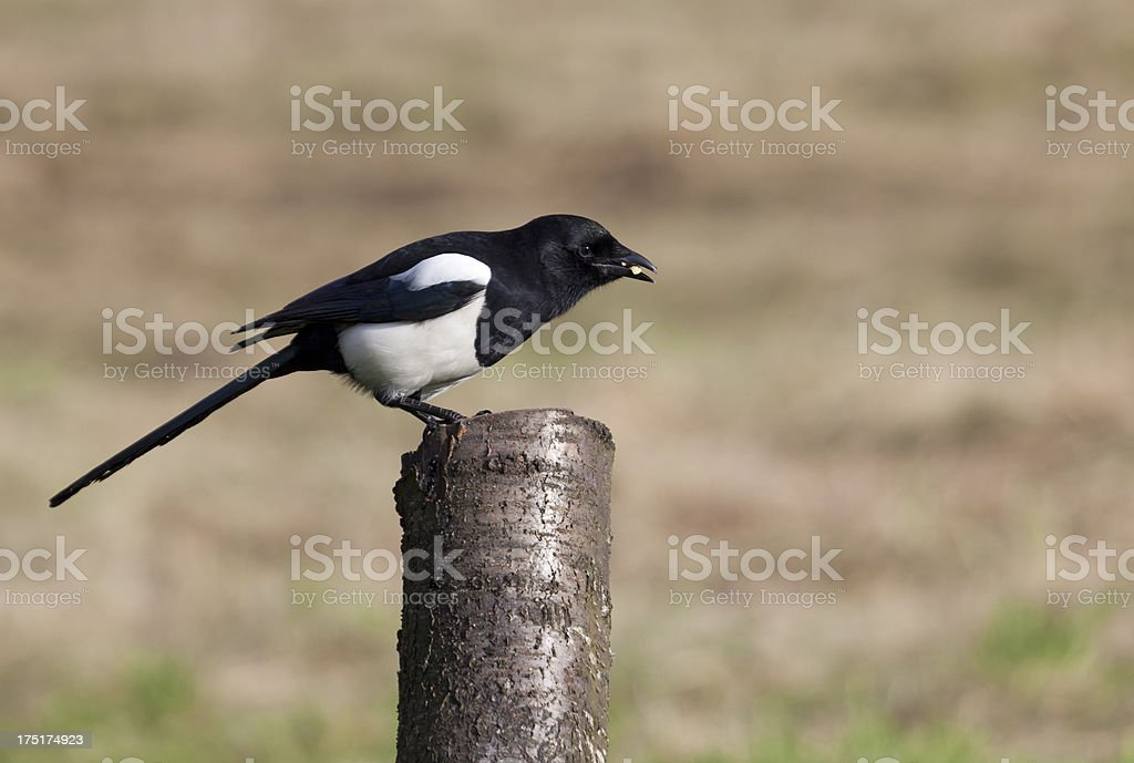 Eurasian Magpie (Pica_pica), standing on post royalty-free stock photo