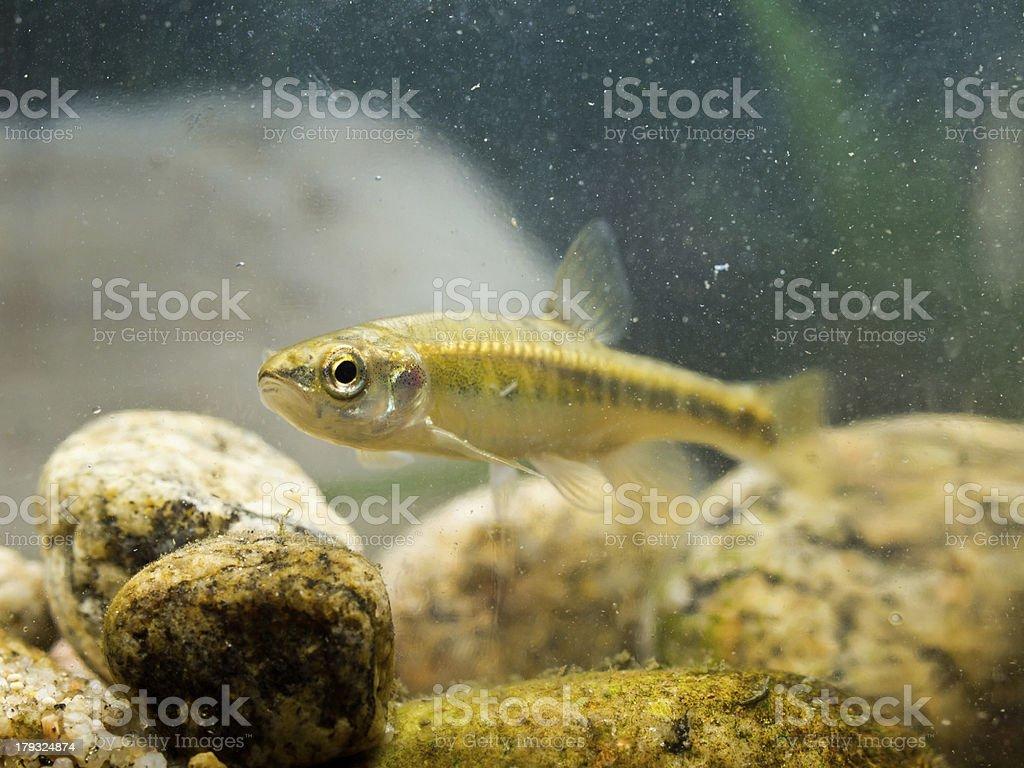 Eurasian Minnow in Natural Habitat stock photo