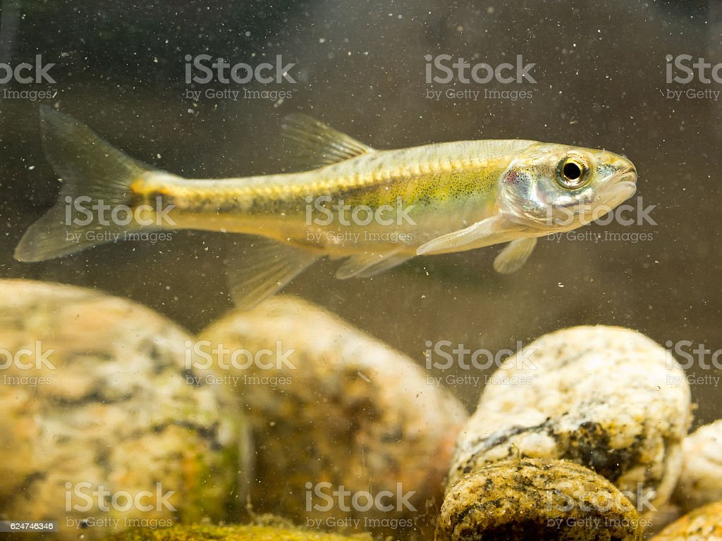 Eurasian Minnow swimming in river Habitat stock photo
