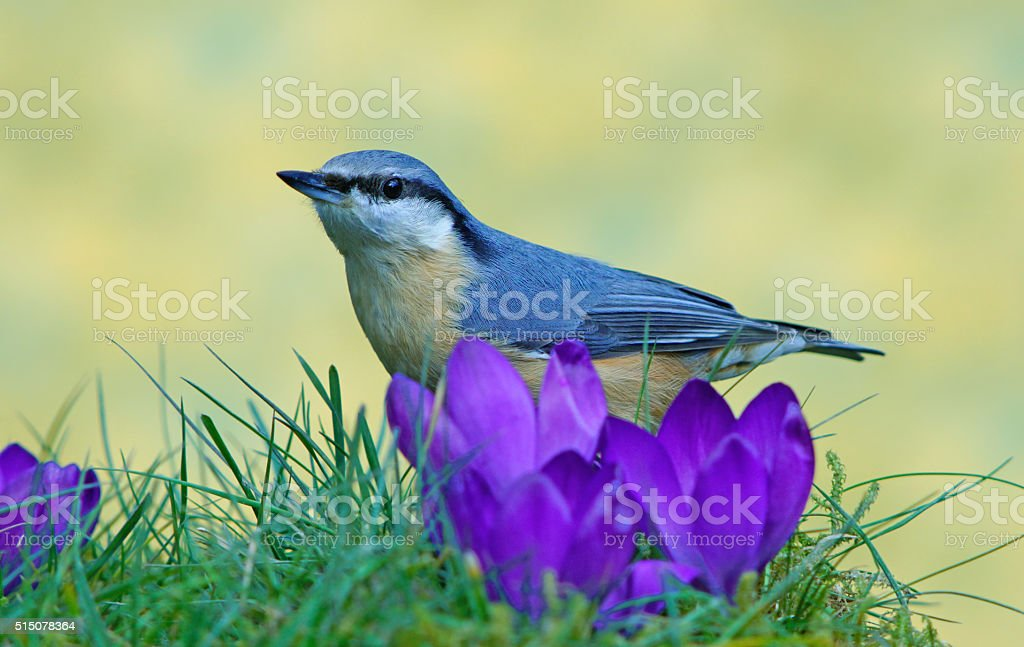 Eurasian nuthatch in spring stock photo