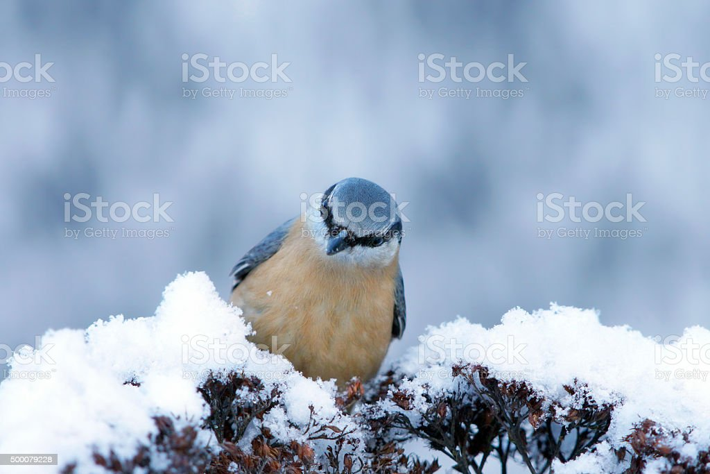 Eurasian nuthatch in winter stock photo