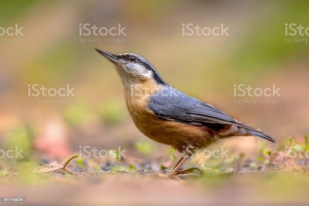 Eurasian nuthatch looking up stock photo