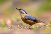 Eurasian nuthatch looking up
