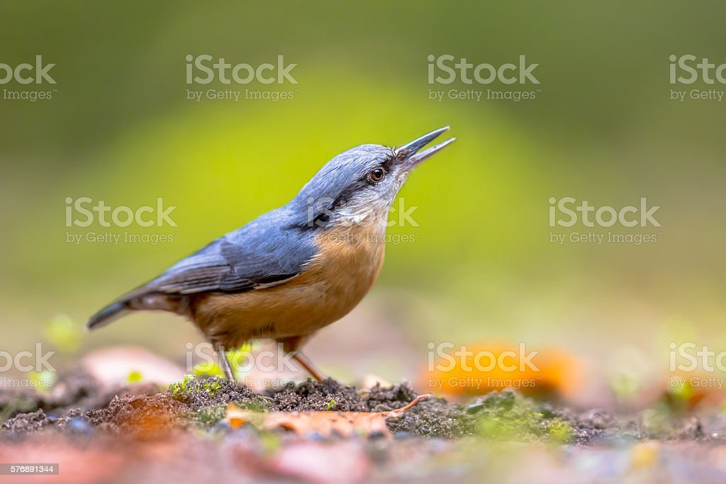 Eurasian nuthatch looking upward close up stock photo