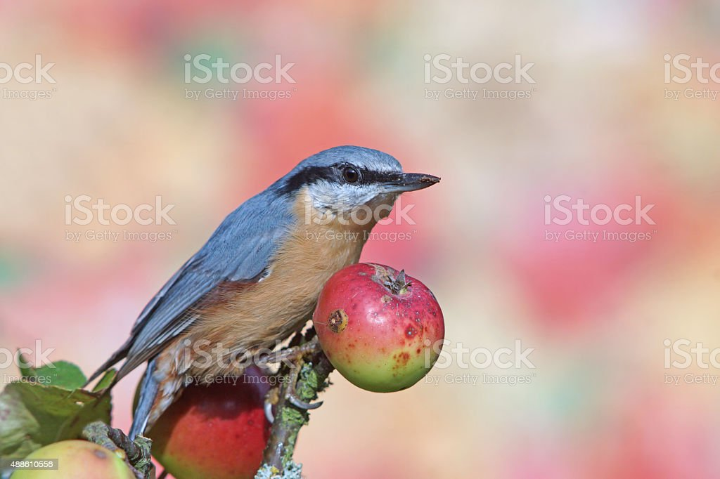 Eurasian nuthatch on wild apple stock photo