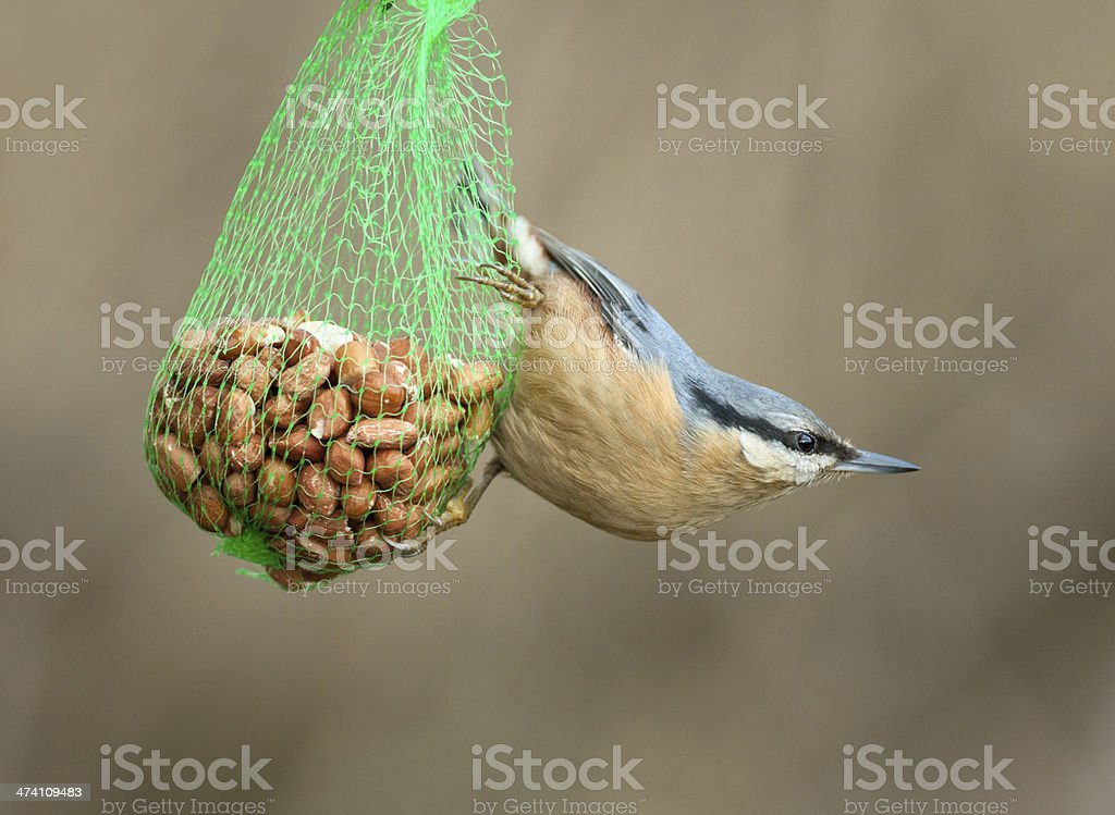 Eurasian Nuthatch (Sitta europaea) stock photo