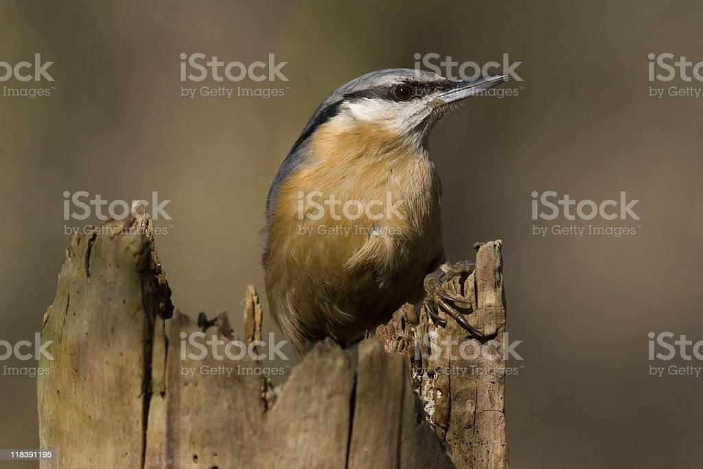 Eurasian nuthatch - Sitta europaea stock photo