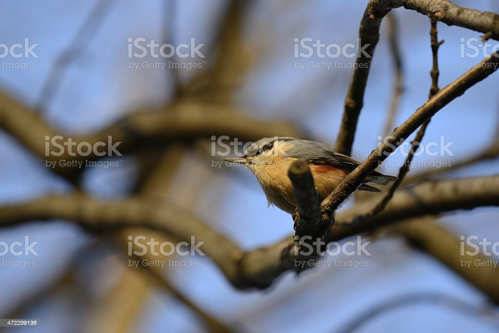 Eurasian nuthatch standing on a tree stock photo