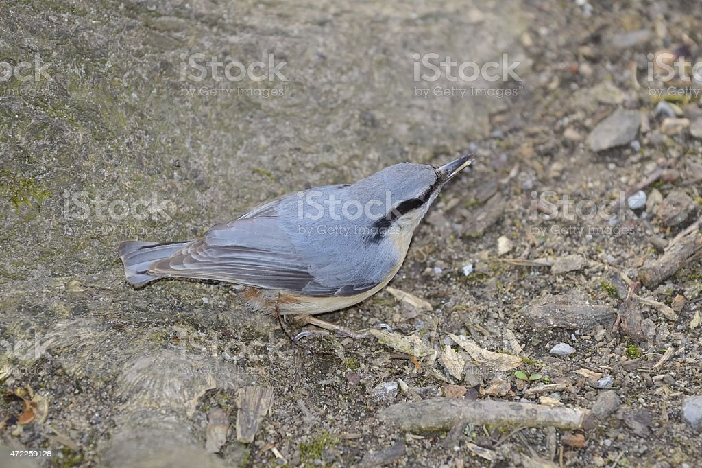 Eurasian nuthatch standing on ground stock photo