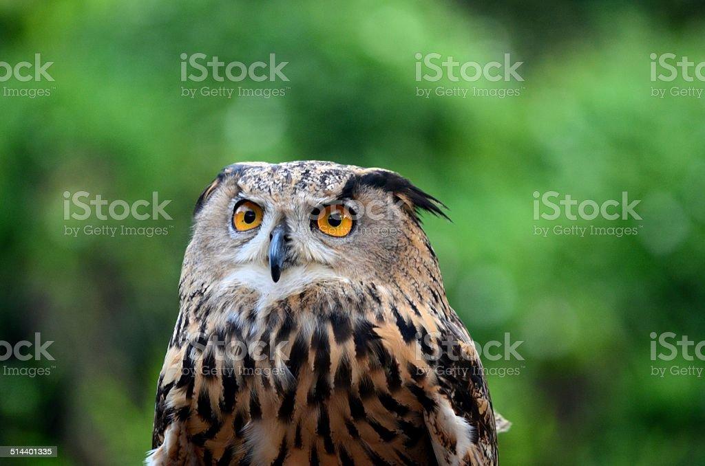 Eurasian or European Eagle owl bubo bubo stares intently stock photo