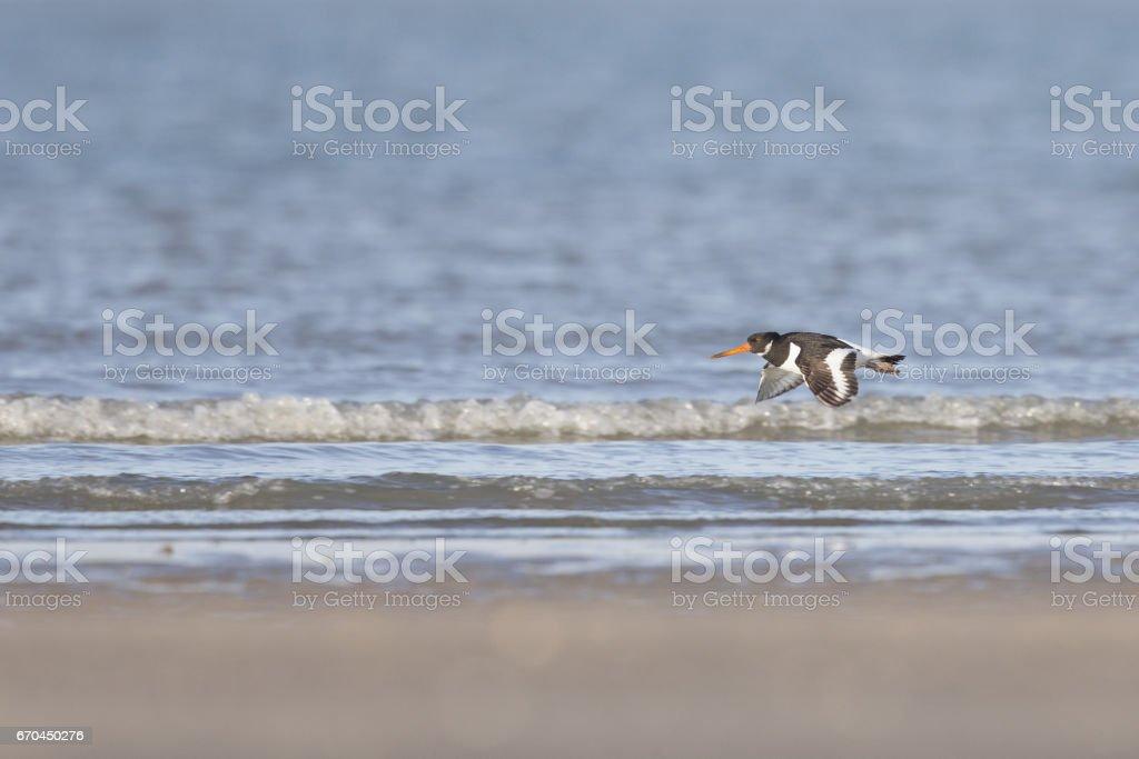 Eurasian oystercatcher-(Haematopus ostralegus)  foraging on the beach in the Netherlands. stock photo