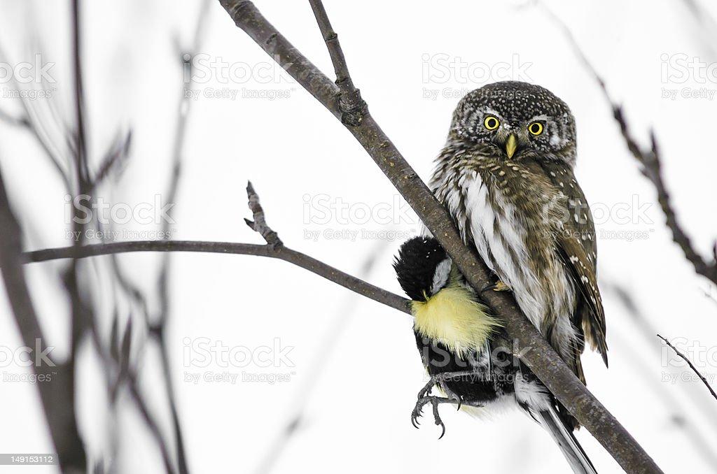 Eurasian pygmy owl stock photo