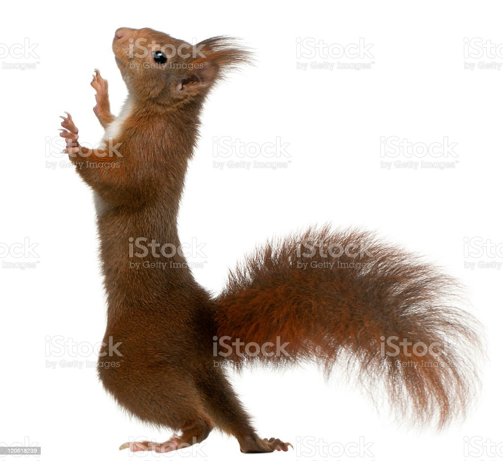 Eurasian red squirrel on white background stock photo