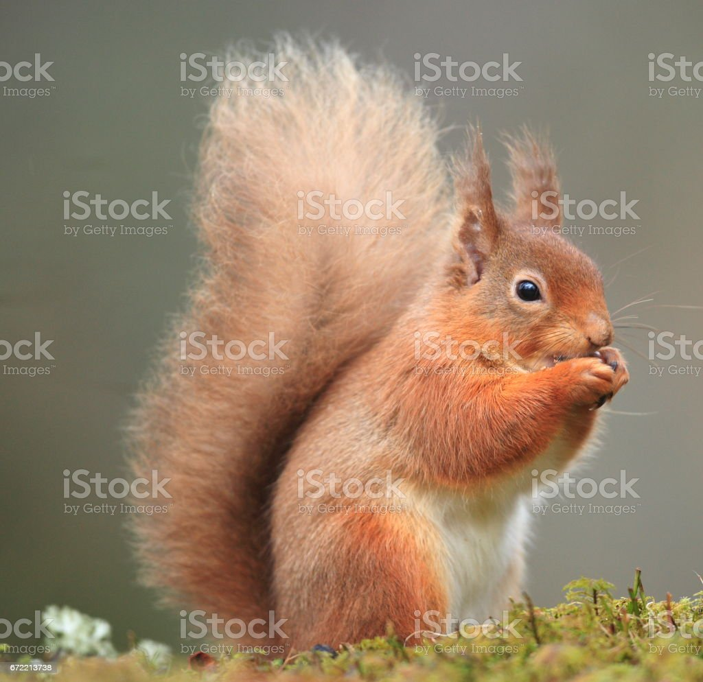 Eurasian red squirrel (Sciurus vulgaris) stock photo
