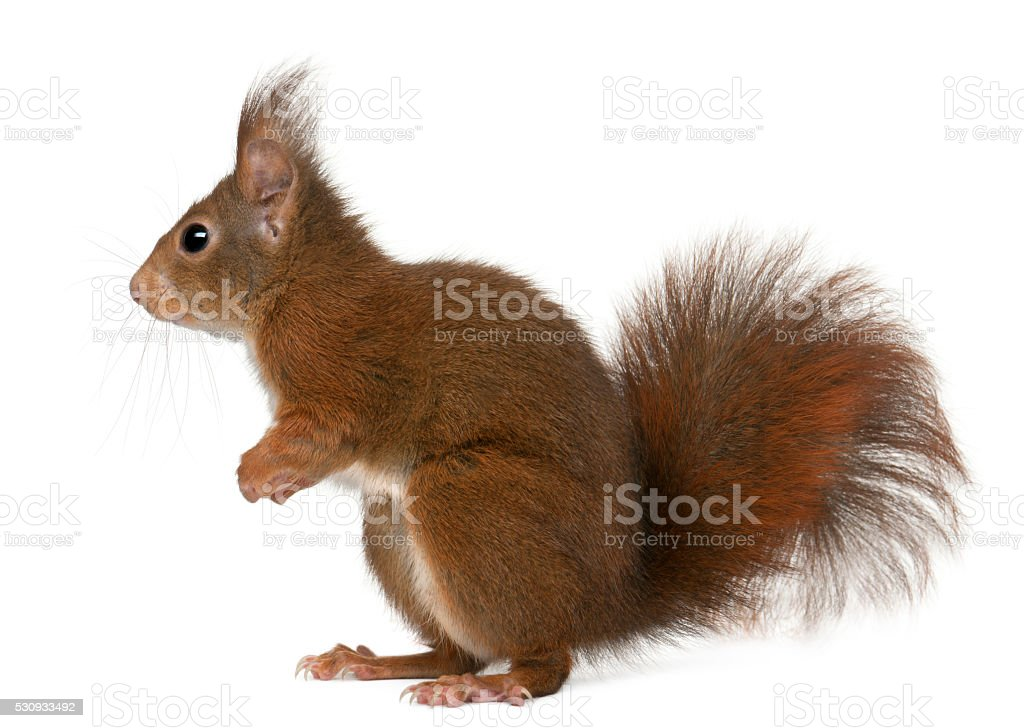 Eurasian red squirrel, Sciurus vulgaris, 4 years old, stock photo