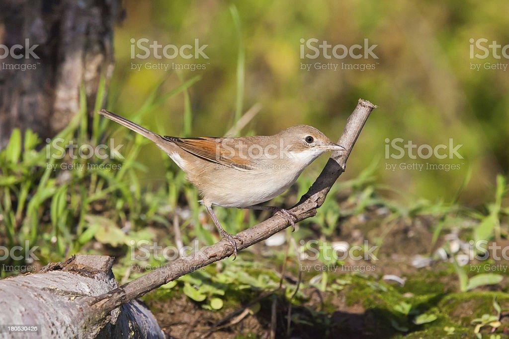 Eurasian Reed Warbler stock photo