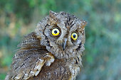 Eurasian scops owl, Otus scops