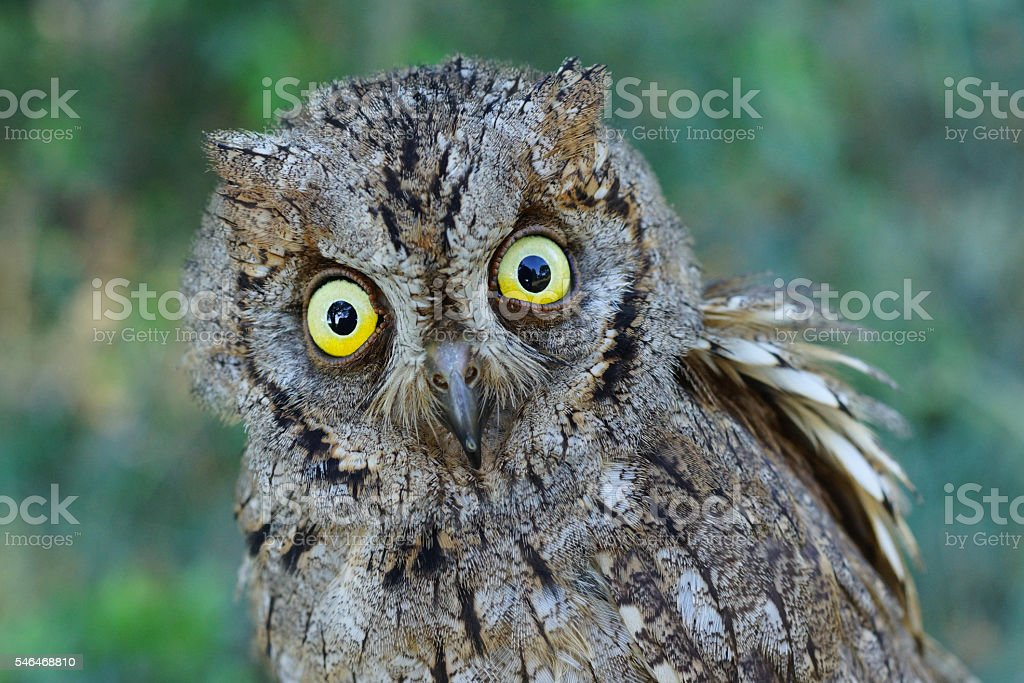 Eurasian scops owl, Otus scops stock photo