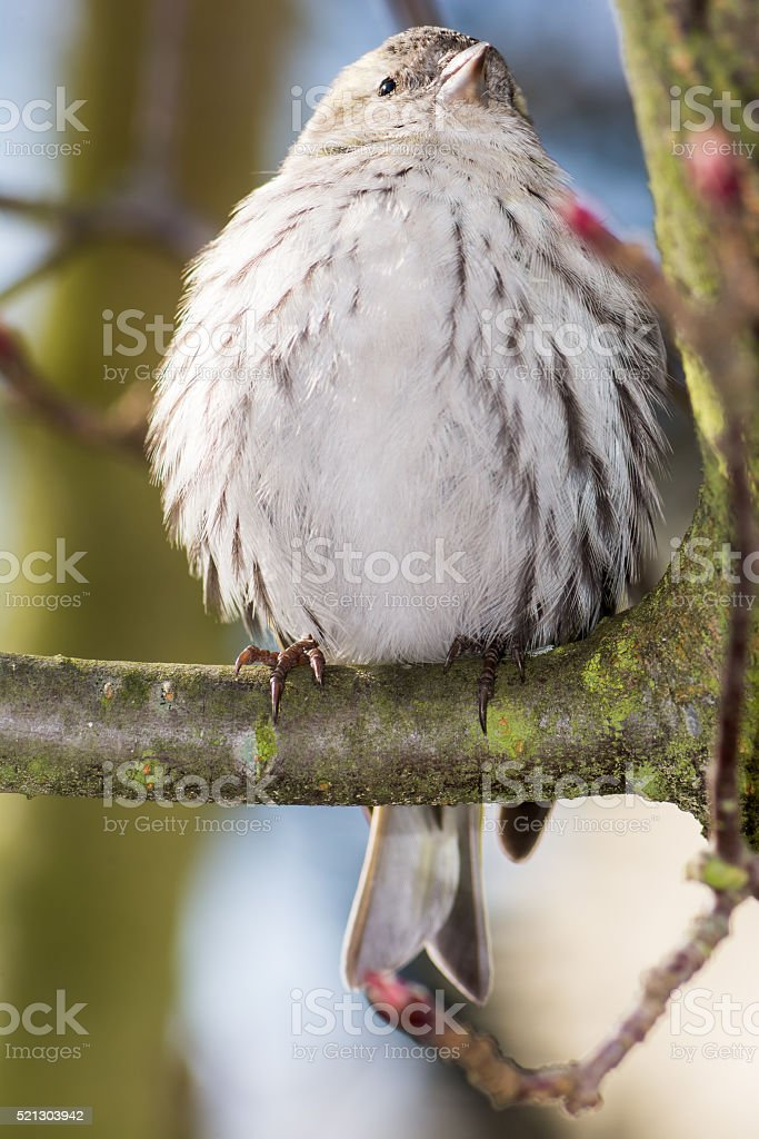 Eurasian siskin sitting on a twig stock photo