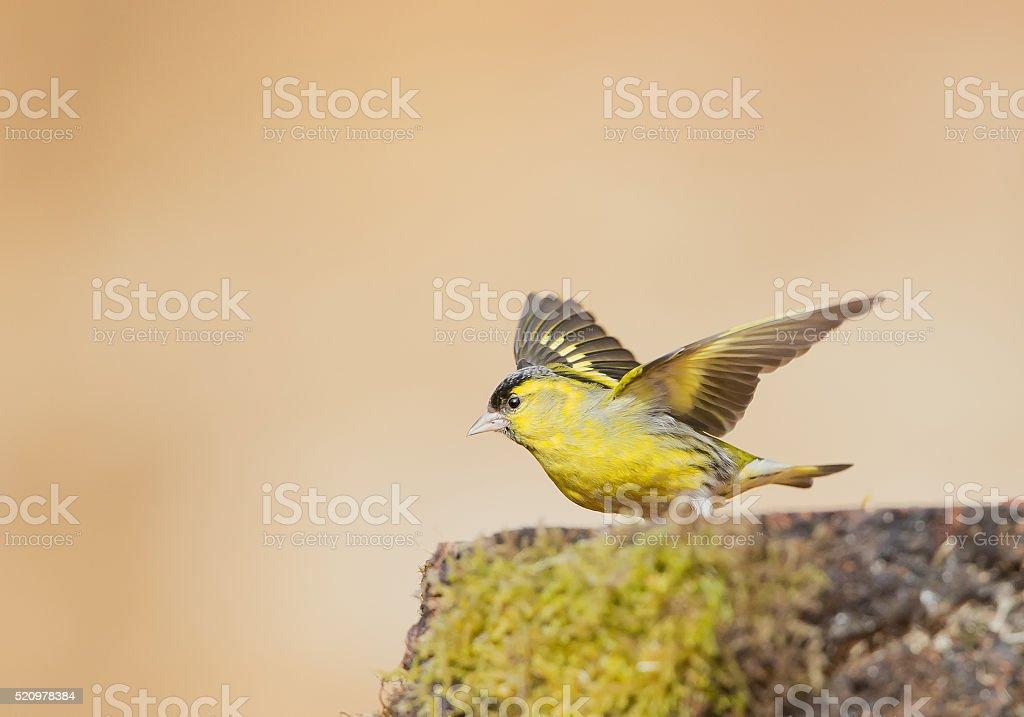 Eurasian siskin taking off stock photo