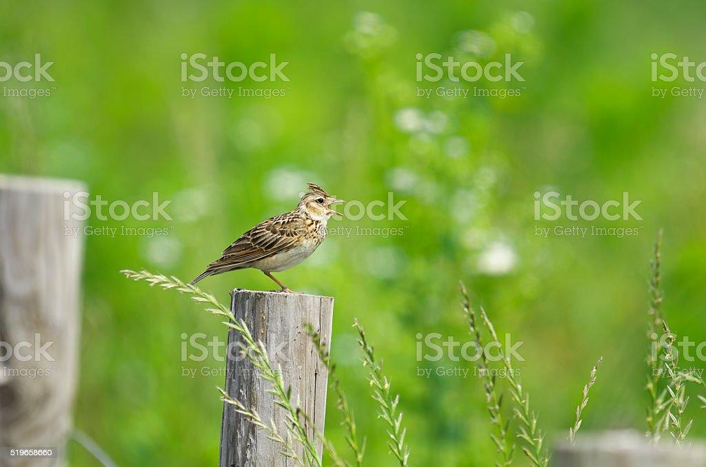 Eurasian skylark stock photo