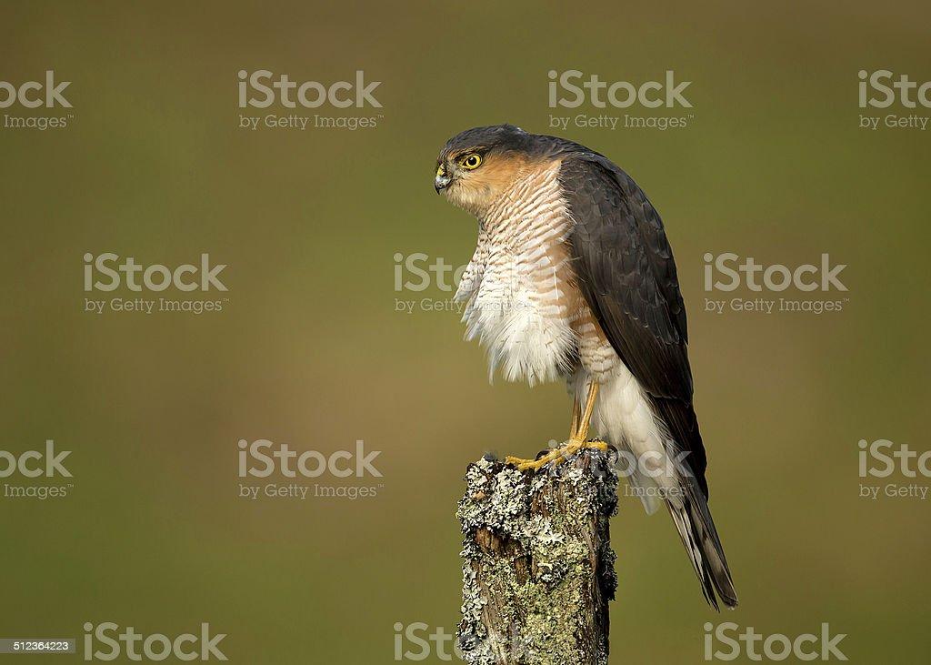Eurasian Sparrowhawk (Accipiter nisus) preening on a wooden post stock photo