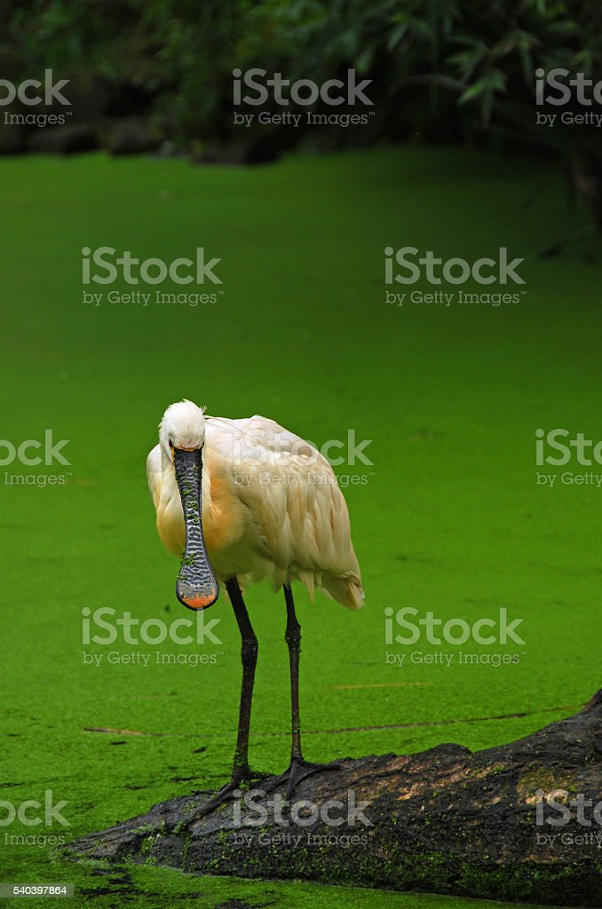 Eurasian Spoobill is standding above a pond. stock photo