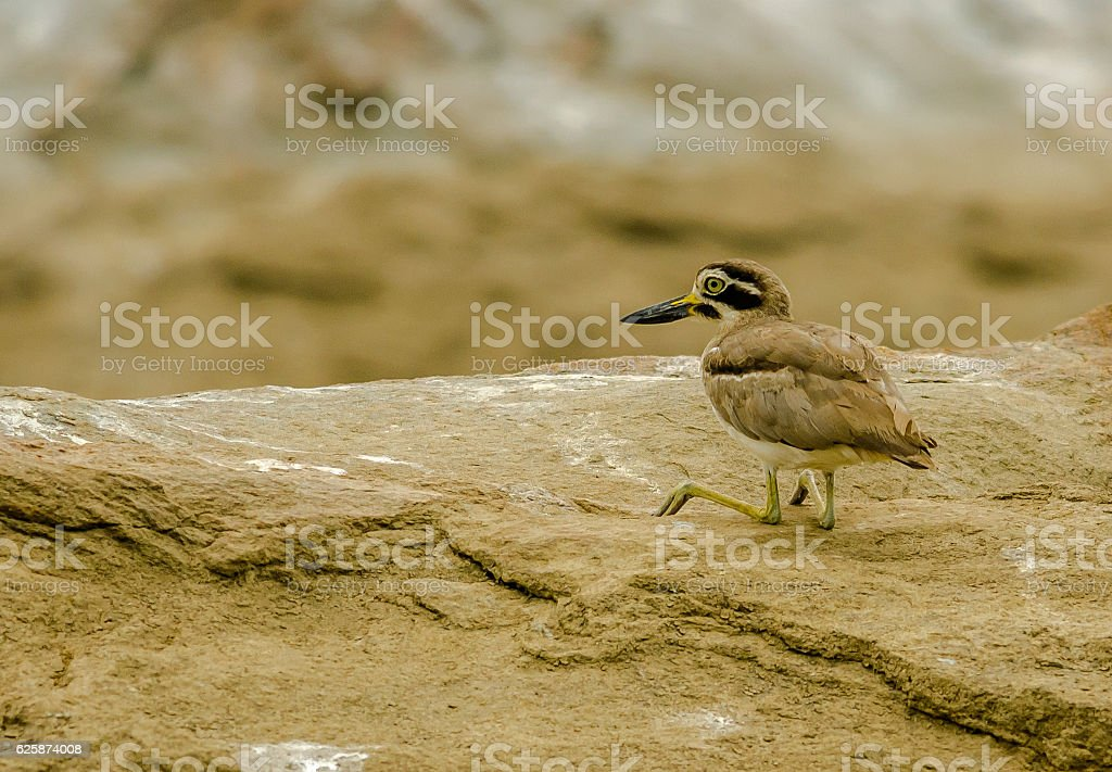 Eurasian Stone-Curlew at Ranganathittu Bird Sanctuary stock photo