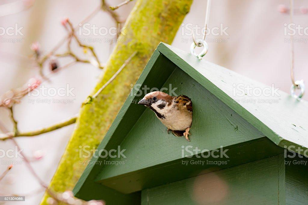 Eurasian Tree Sparrow in a Birdhouse stock photo