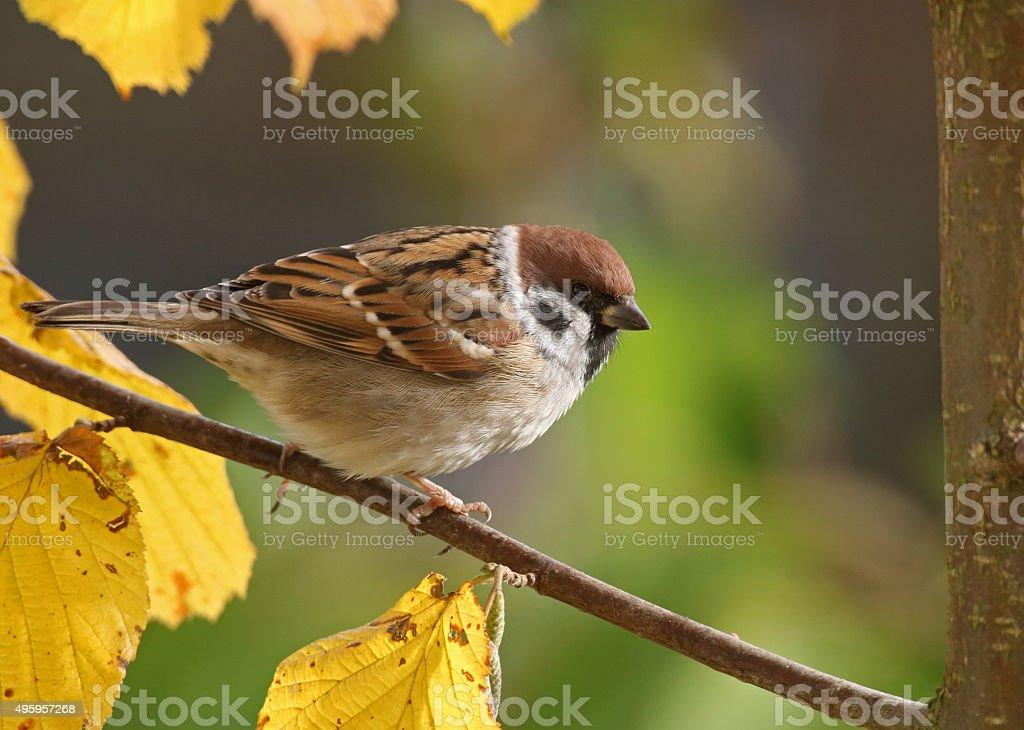Eurasian tree sparrow (Passer montanus) in autumn. stock photo