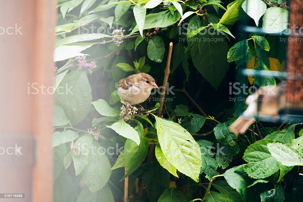 Eurasian Tree Sparrow juvenile, newly fledged, perched on branch. stock photo