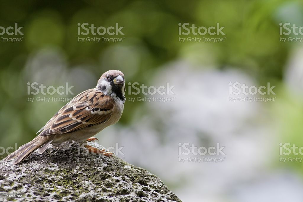 Eurasian Tree Sparrow royalty-free stock photo