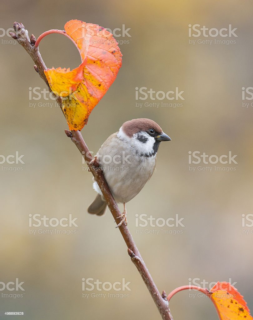 Eurasian tree sparrow (Passer montanus) stock photo